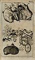 The liver (figure 1) and gallbladder (figure 4). Engraving, Wellcome V0007785EL.jpg