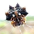 Thelacantha brevispina female dorsal.jpg