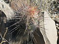 Thelocactus bicolor (5686771662).jpg
