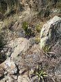 Thelocactus rinconensis (5729224043).jpg
