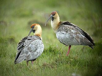 Theristicus - Black-faced ibis.