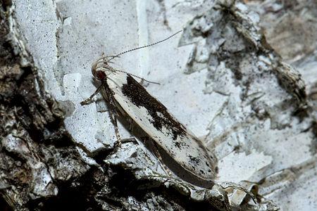 Thiotricha subocellea, Lodz(Poland)02(js).jpg