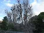 Thistle Shoe Tree, Jul 15.jpg