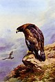 Thornburn Archibald A Golden Eagle.jpg