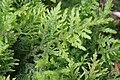 Thuidium tamariscinum (d, 144651-474740) 6081.jpg