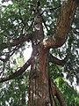 Thuja plicata trunk 01 by Line1.jpg