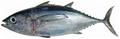 Thunnus atlanticus - pone.0010676.g186.png