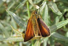 Thymelicus sp