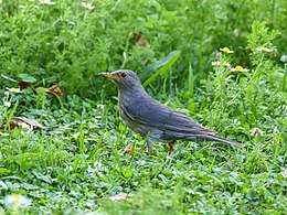 Tickell's Thrush (Turdus unicolor) (28609776665).jpg