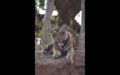 Tiger in Ranthambore 36.png