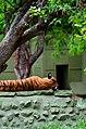 Tiger in mysore zoo -- karnataka.jpg