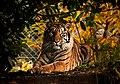 Tiger in the sunlight (14794902642).jpg