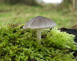 Toadstool in moss.jpg