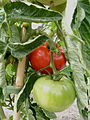 Tomate Heinz 1439 P1020472.JPG
