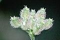 Torilis.japonica3.-.lindsey.jpg