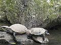 Tortugas en Trujillo.jpg