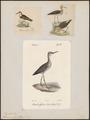 Totanus glareola - 1700-1880 - Print - Iconographia Zoologica - Special Collections University of Amsterdam - UBA01 IZ17400101.tif