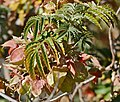 Touch-Me-Not (Melianthus comosus) flowers and fruits (32526256081).jpg