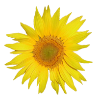 200px-Tournesol.png