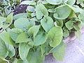 Trauttmansdorff gardens - Phlomis russeliana 02.JPG