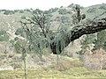 Tree With Moss2.jpg