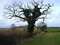 Tree and Hedge - geograph.org.uk - 87940.jpg