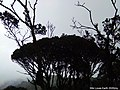 Trees of the misty, Mossy Forest, Cameron Highlands.jpg