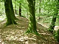 Trees on the bank, Castle Dyke, Little Haldon - geograph.org.uk - 1327115.jpg
