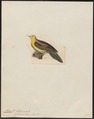 Treron sphenura - 1820-1860 - Print - Iconographia Zoologica - Special Collections University of Amsterdam - UBA01 IZ15600021.tif