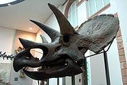 Triceratops Skull Senckenberg