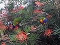 Trichoglossus moluccanus drinking nectar, RBG Sydney.jpg