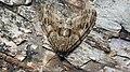 Trichopteryx polycommata - Barred tooth-striped - Лопастная пяденица жимолостная (47995967391).jpg