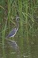 Tricolored heron (Egretta tricolor) - Parque Nacional Natural Tayrona 02.jpg