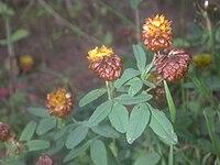 Trifolium badium502