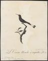 Trochilus longicaudus - 1802 - Print - Iconographia Zoologica - Special Collections University of Amsterdam - UBA01 IZ19100401.tif