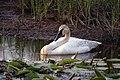 Trumpeter Swan (15248808083).jpg