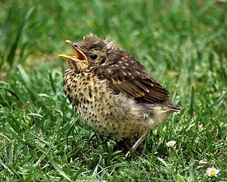 Song thrush - Juvenile in New Zealand