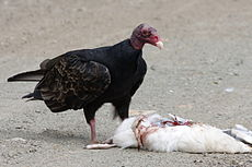 Turkey Vulture feeding.jpg