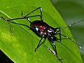 Turquoise-spotted Katydid (Tettigoniidae) nymph (15518541056).jpg
