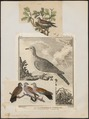 Turtur auritus - 1700-1880 - Print - Iconographia Zoologica - Special Collections University of Amsterdam - UBA01 IZ15600391.tif