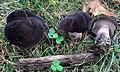 Tylopilus alboater (Schwein.) Murrill 650767.jpg