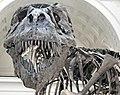 Tyrannosaurus rex (theropod dinosaur) (Hell Creek Formation, Upper Cretaceous; near Faith, South Dakota, USA) 17.jpg