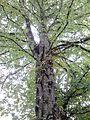 Ulmus laevis. Inverleith Park (opposite Inverleith Place), Edinburgh (1).jpg