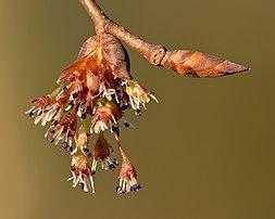 Inflorescence et bourgeon végétatif d'un orme lisse. (définition réelle 5000×4000)