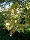 Ulmus parvifolia1