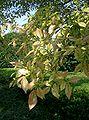 Ulmus parvifolia1.jpg