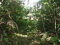 Uma das Espécies de Árvore da amazonica.JPG