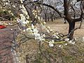 Ume Garden in the Kyōdo-no-mori Park 20130310-8.jpg