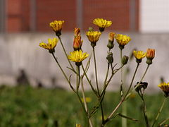 Lapsana communis flowers.jpg