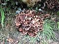 Untidy looking fungus at the base of a hedgerow - geograph.org.uk - 609784.jpg